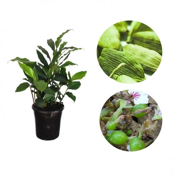 Elaichi Plant - Elettaria Cardamomum, True Cardamom, Welchi