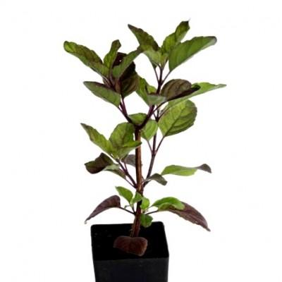 Krishna Tulsi Plant - Shyama Tulasi, Holy Basil
