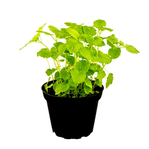 Lemon Balm Plant - Melissa Officinalis, Balm Mint