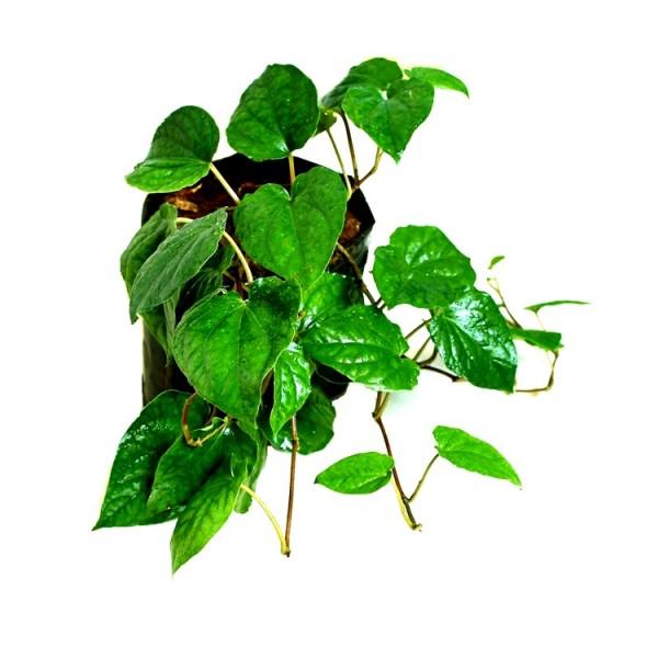 Maghai Paan Plant - Peper Betel, Betel leaf Plant