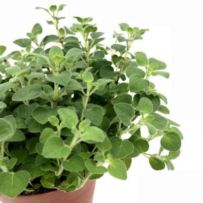 Marwa Plant - Origanum Majorana, Marjoram, Sweet Marjoram