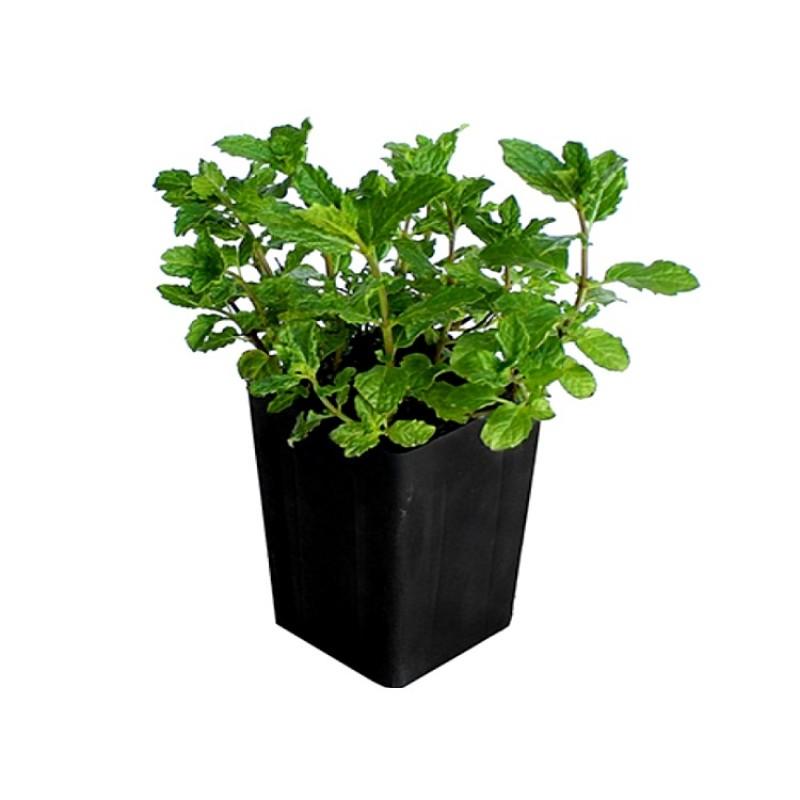 Mint Pudeena Plant Online At