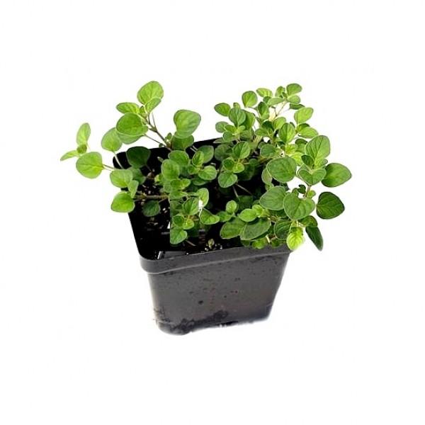 Oregano Herb Plant - Origanum Vulgare