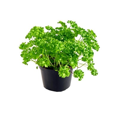 Parsley Plant - Petroselinum Crispum