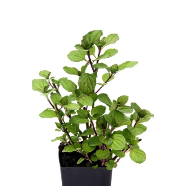 Peper Mint Plant