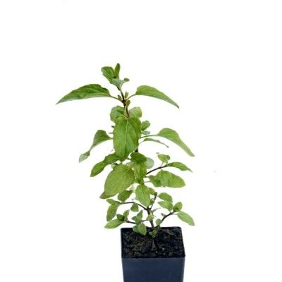 Ram Tulsi - Rama Tulasi, Holy Basil Plant