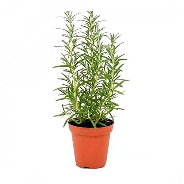 Rosemary Herb Plant - Rosmarinus Officinalis