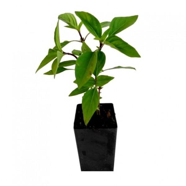 Ocimum Basilicum - Sabja Plant