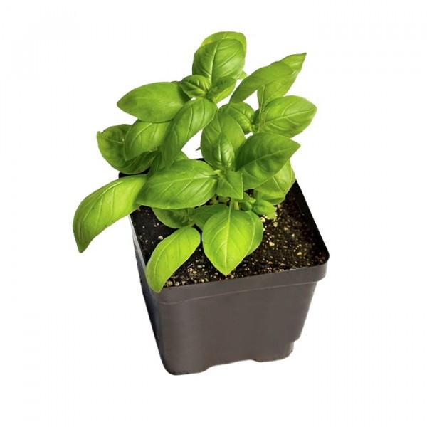 Sweet Basil Plant(Italian Basil)