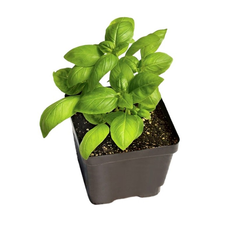 Sweet Basil Herb Plant Online At