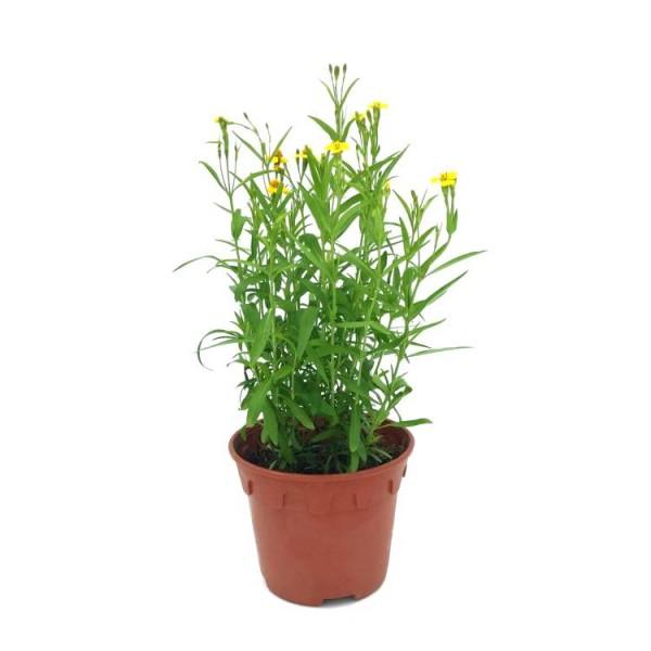 Terragon Herb Plant - Artemisia Dracunculus