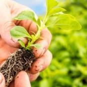 Commercial Plants