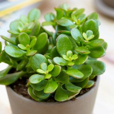 Lucky(Fortune) Plants