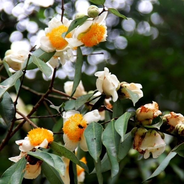 Nagkesar Plant - Mesua Ferrea, Indian Rose Chestnut, Nag Champa