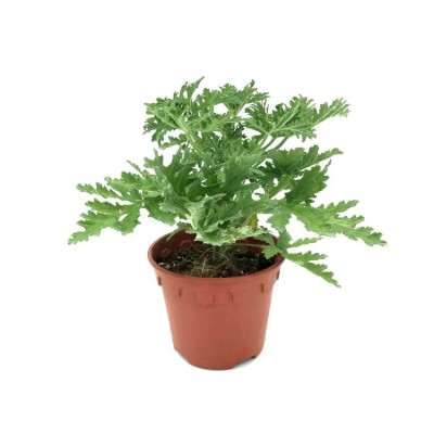 Odomos Plant - Medicinal Geranium, Pelargoniums