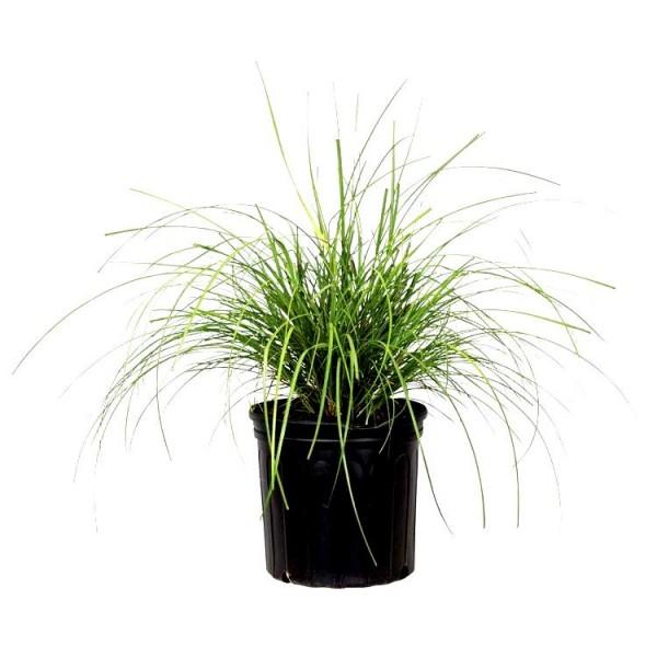 Khus Plant - Vetiver, Chrysopogon Zizanioides, Wala