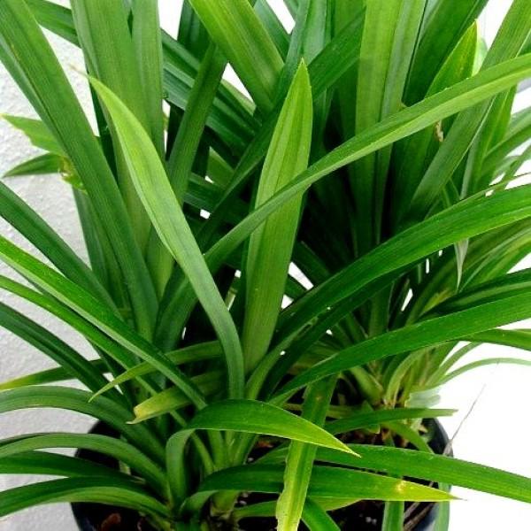 Pandanus Amaryllifolius Plant - Pandan Plant, Rambha Plant, Biryani leaves Plant, Basmati Plant