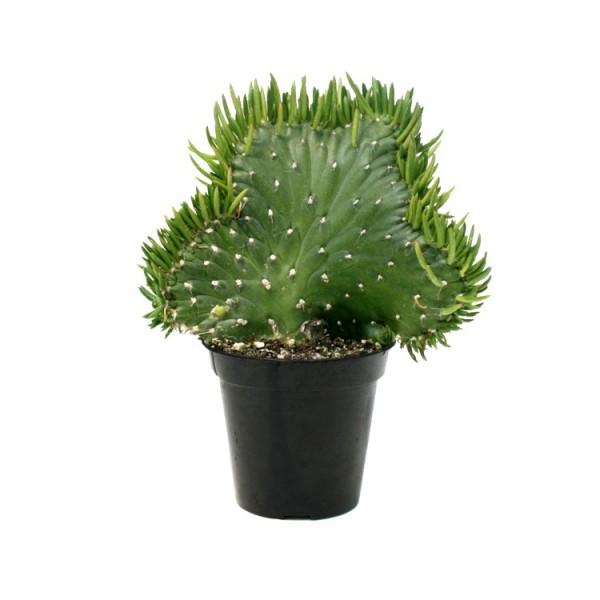 Opuntia Subulata Cristata Plant - Bunny Ear Cactus