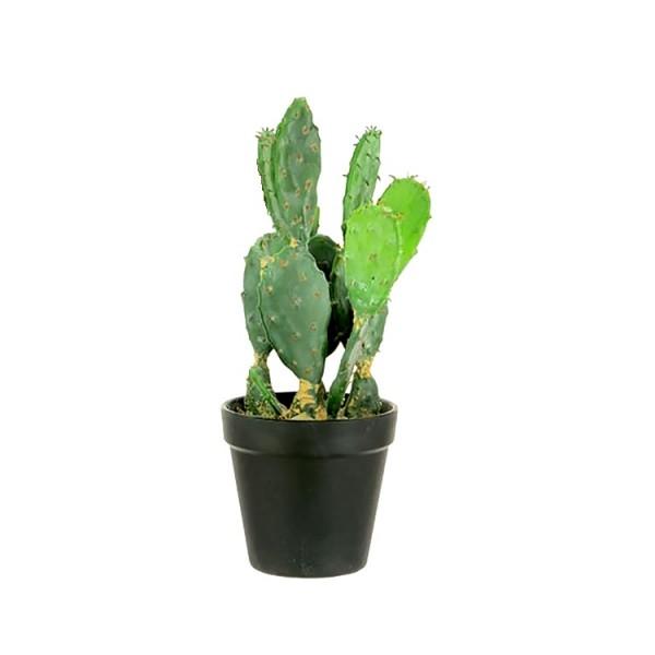 Opuntia Genus Plant - Bunny Ear Cactus
