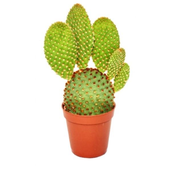 Opuntia Microdasys Plant - Bunny Ear Cactus Red