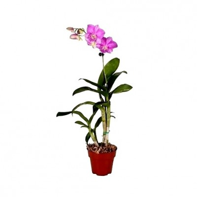 Dendrobium Orchid Pegasus Pink - Dendrobium Pegasus Pink, Orchid Plant
