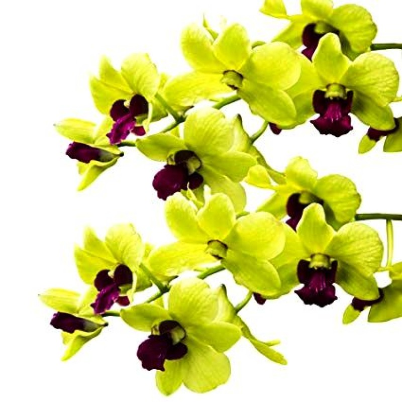 Buy Dendrobium Yellow Orchid Plant Online In India At