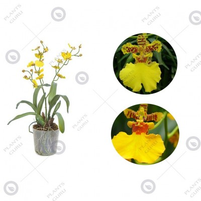 Oncidium Goldiana - Dancing Lady Orchid, Orchid Plant