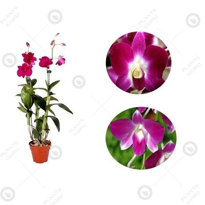 Dendrobium Orchid Purple - Dendrobium Purple, Orchid Plant