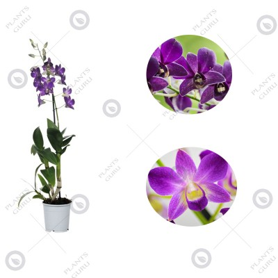 Dendrobium Orchid Purple Mix - Dendrobium Purple Mix, Orchid Plant