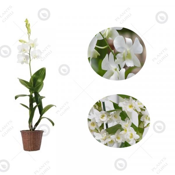 Dendrobium Orchid White - Dendrobium White, Orchid Plant