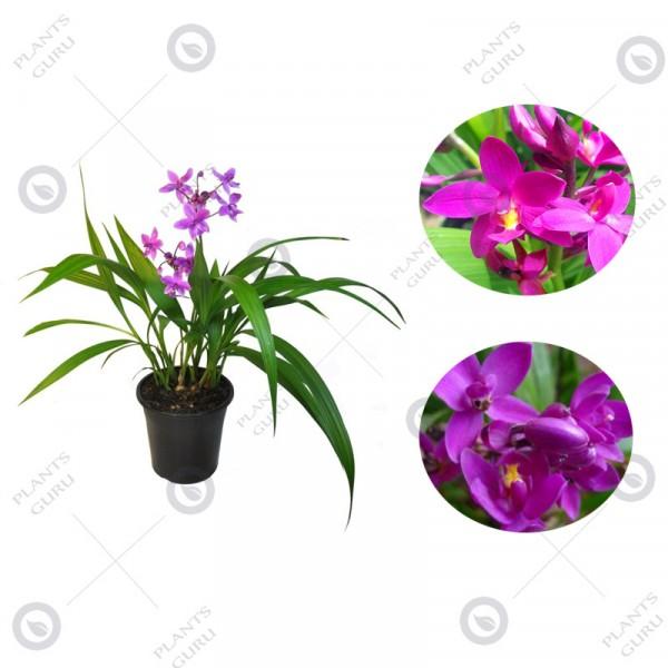 Ground Orchid Plant - Spathoglotis Plicata