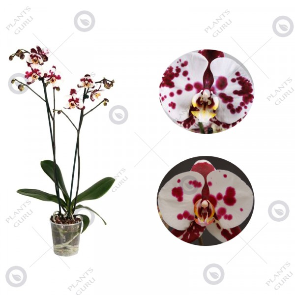 Phalaenopsis Orchid White Pink - Phalaenopsis Polka Dot, Orchid Plant