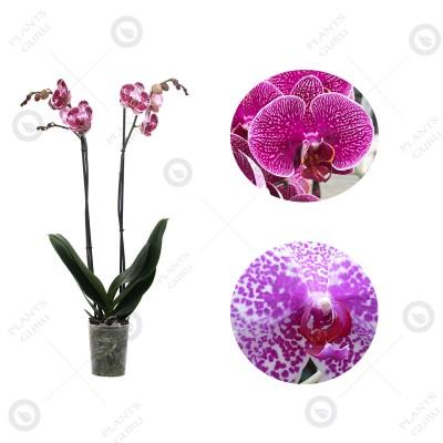 Phalaenopsis Orchid Pink Bicolor - Phalaenopsis Pink Blush