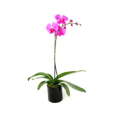 Phalaenopsis Orchid Pink - Lianher Red Apple