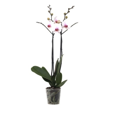Phalaenopsis Orchid White - Orchid Plant