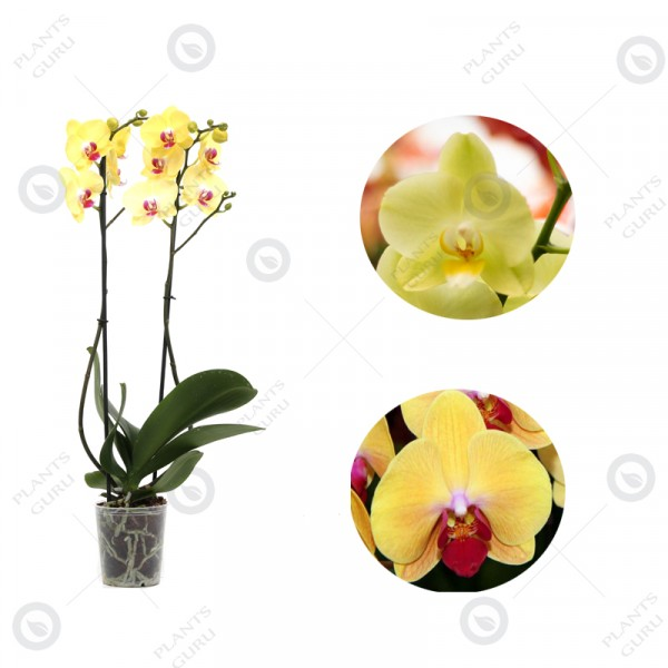 Phalaenopsis Orchid Yellow - Orchid Plant