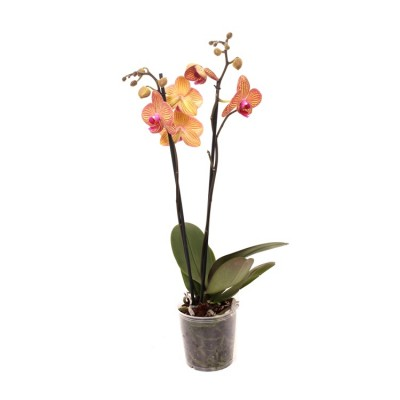 Phalaenopsis Orchid Yellow Blush - Orchid Plant