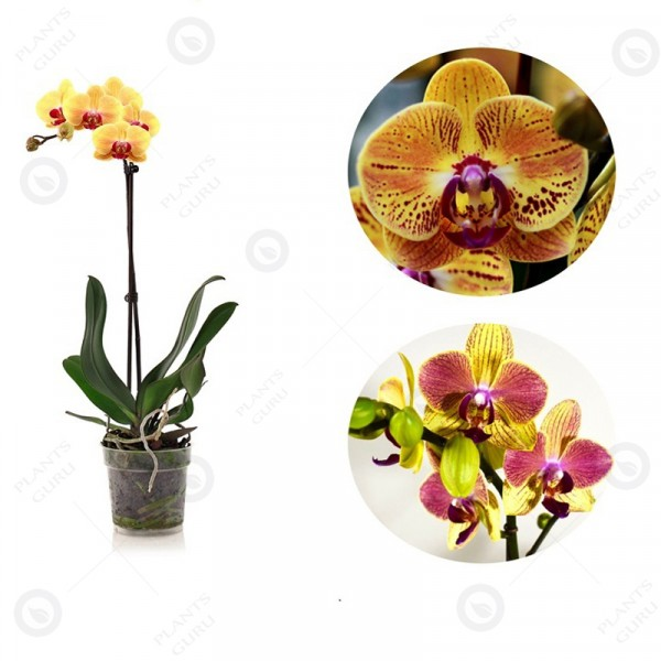 Phalaenopsis Orchid Yellow Mix - Orchid Plant