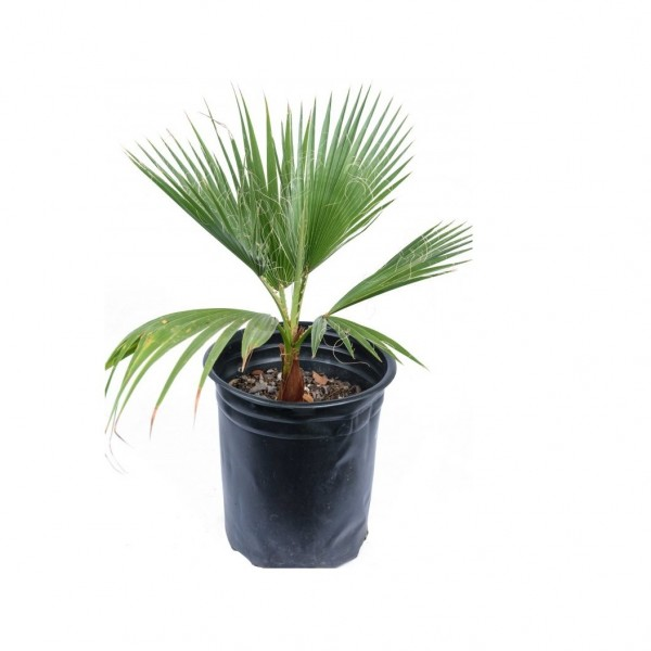 Washingtonia Palm - California-Palm, Washingtonia Filifera