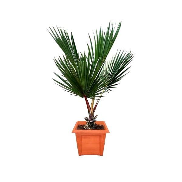 Latania Rubra Palm