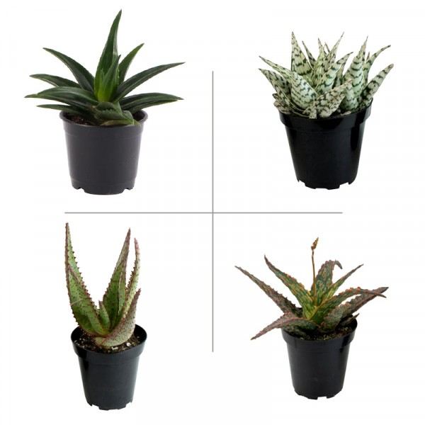 Aloe Succulent Plant Pack (Pack of 4 Varieties)