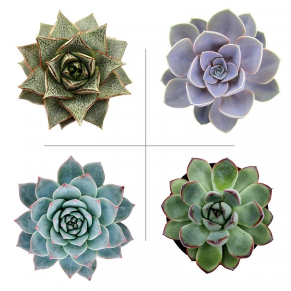 Echeveria Plant Pack (Pack of 4 Varieties)