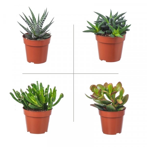 Crassula-Haworthia Plant Pack (Pack of 4 Varieties)