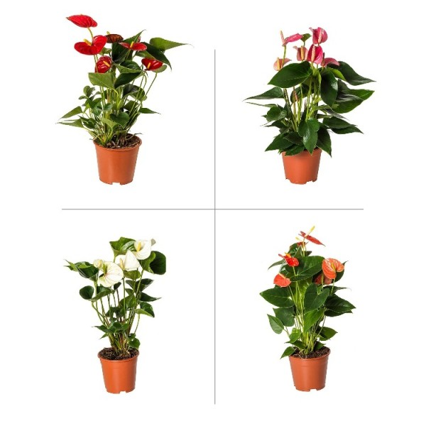 Anthurium Plant Pack (Pack of 4 Colors)