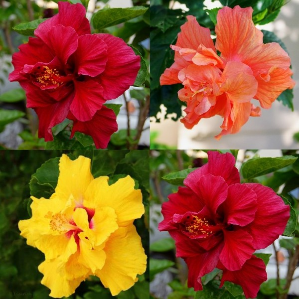 Hibiscus Double Plant Pack (Pack of 3 Colors)