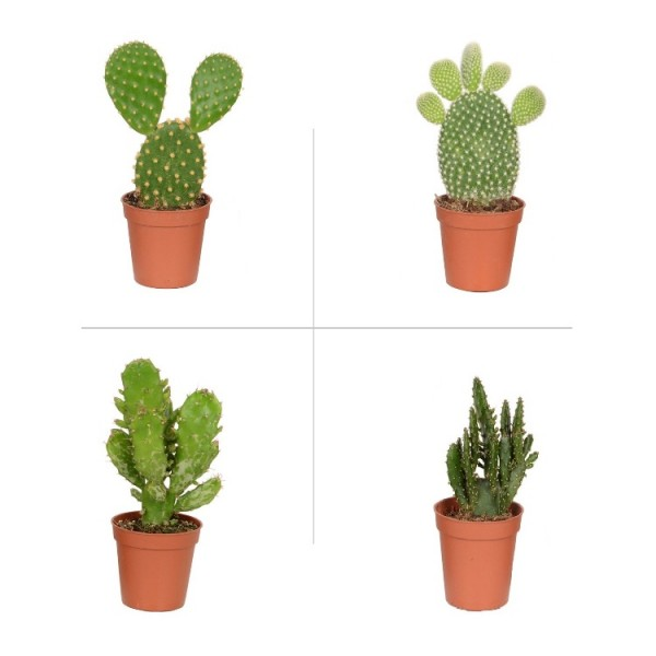 Opuntia Plant Pack (Pack of 4 Varieties)