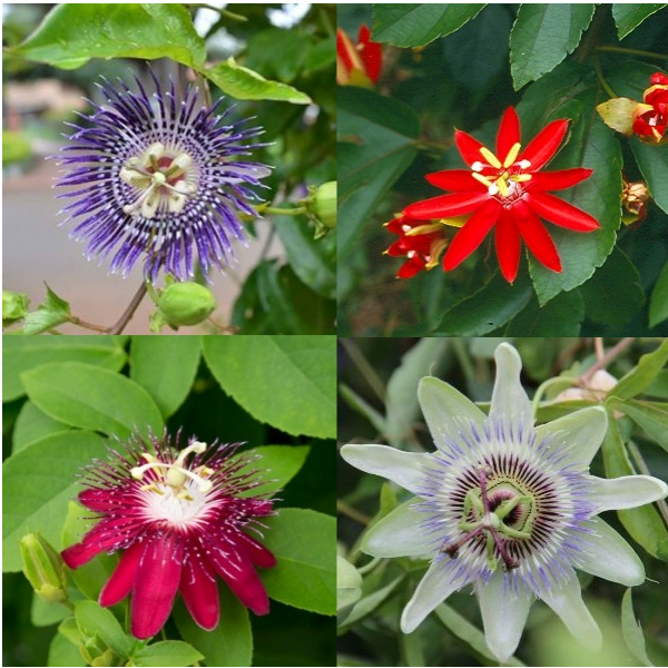 Passiflora(Krishnakamal) Plant (Pack of 4 Colors)