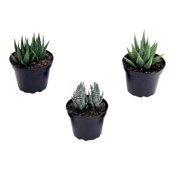 Haworthia Plant Pack (Pack of 3 Varieties)