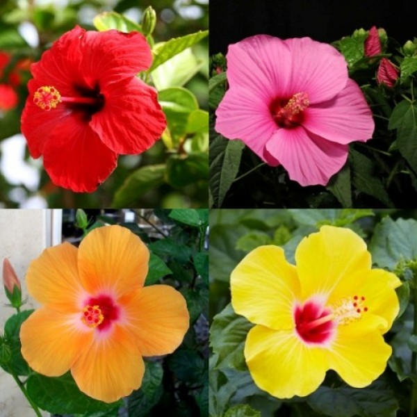Hibiscus Plant Pack (Pack of 4 Colors)