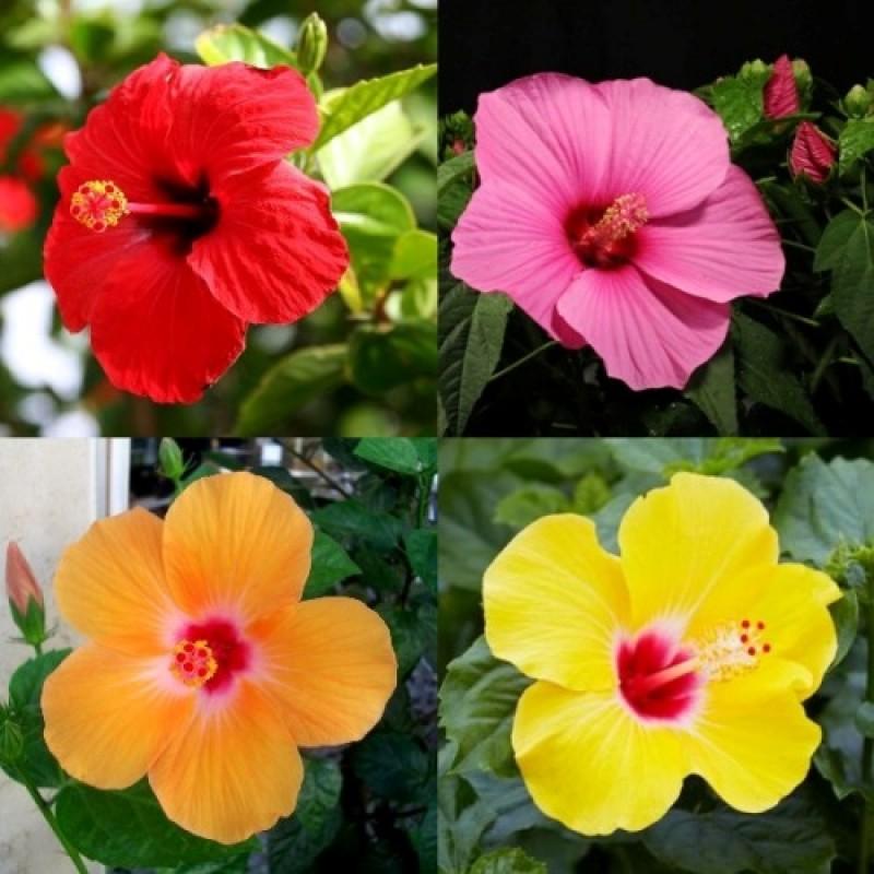 Buy Hibiscus Plant Pack Online At Plantsgurucom